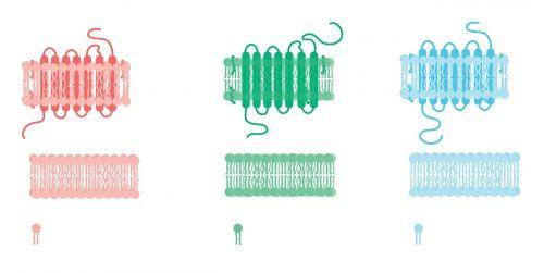 cell cell membrane receptor