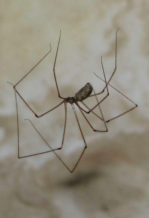 cellar spider skull spider pholcus phalangioides