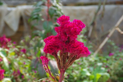 celosia cockscomb red flower