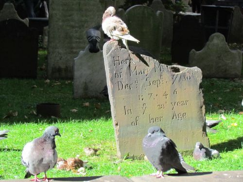 cementery pigeon birds