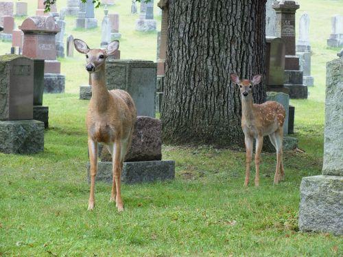 cemetery deer fawn