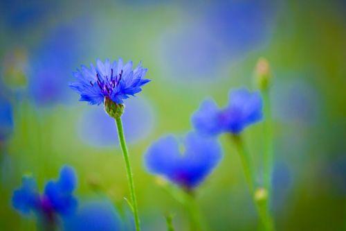 centaurea blue flower field plant