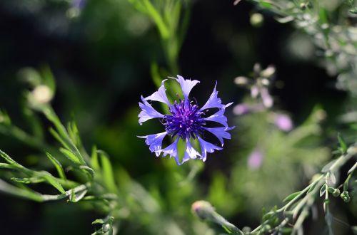 centaurea flower flowers