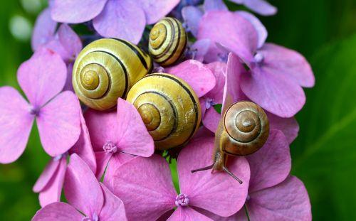 cepaea snails snails hydrangeas
