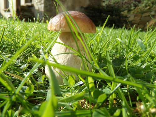 ceps mushrooms nature