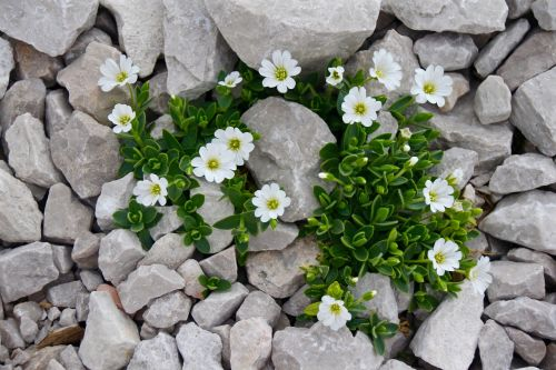 cerastium mouse-ear chickweed flower
