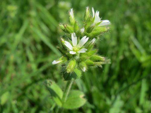 cerastium glomeratum sticky mouse-ear chickweed clammy chickweed