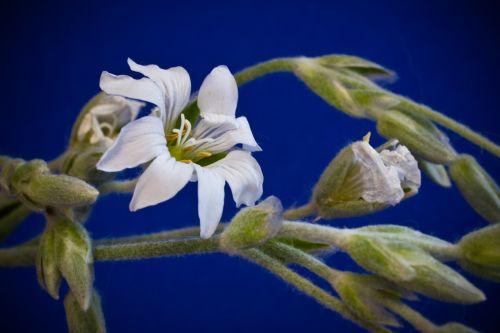 cerastium tomentosum small flowers white