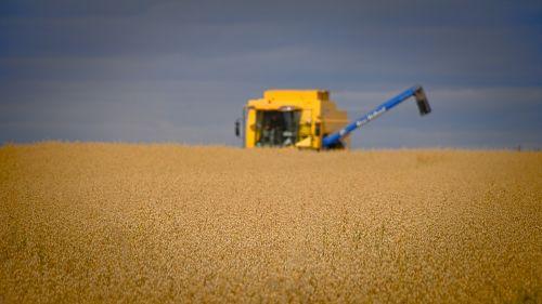 cereal field harvesting