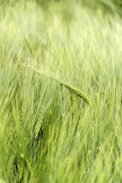 cereals honor cornfield