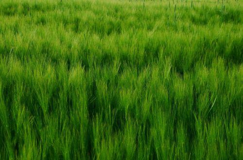 cereals cornfield barley