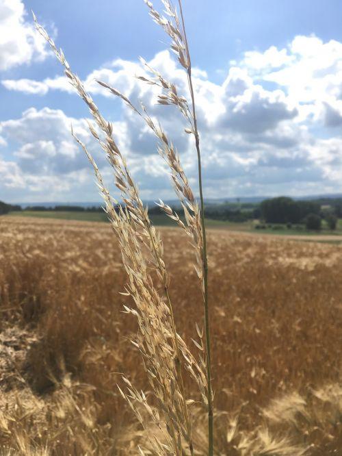 cereals sky field