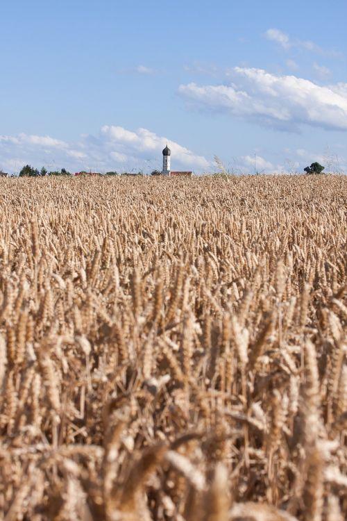 cereals staple food grain