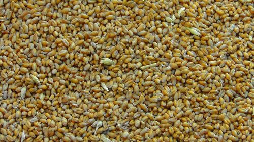 cereals cereal grains wheat