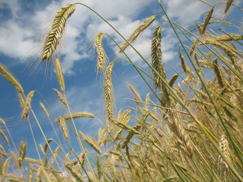 cereals wheat agriculture