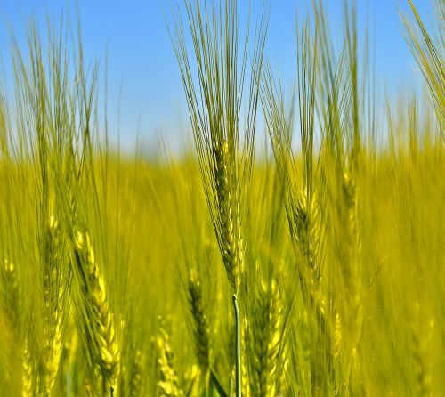 cereals agriculture ear