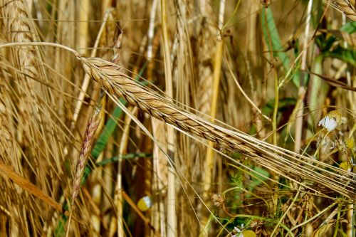 cereals rye ear