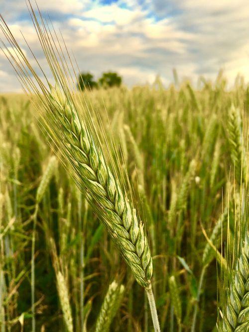 cereals winter barley agriculture