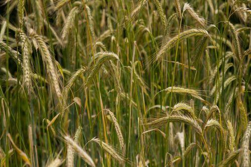 cereals barley field