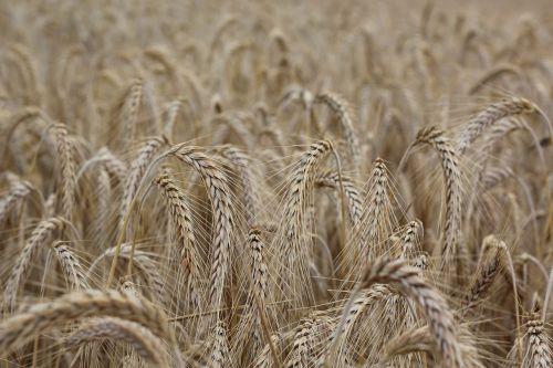 cereals spike cornfield