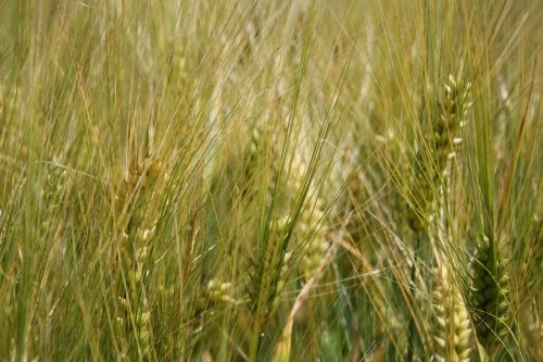 cereals wheat growth
