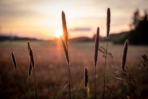 cereals  barley  wheat