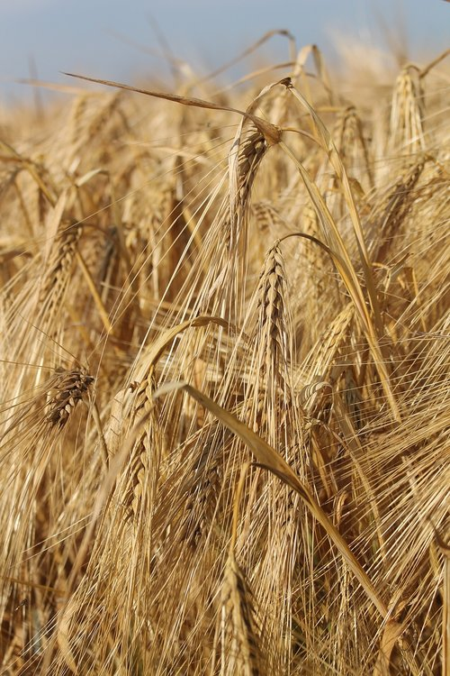 cereals  barley  grain