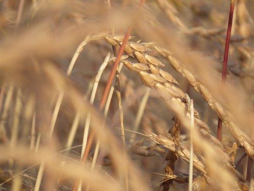cereals  spelt  wheat