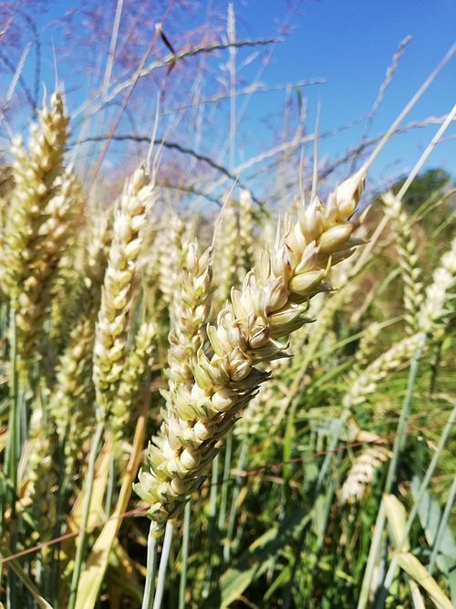 cereals  rural district  wheat