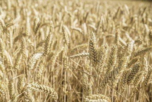 cereals  cornfield  nature