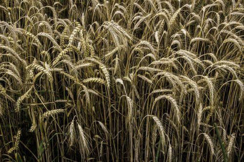 cereals rye rye field