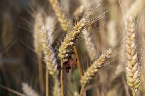 cereals barley barley field