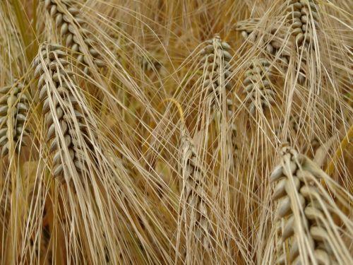 cereals barley grain