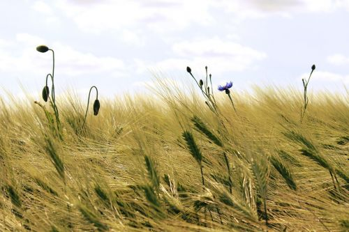 cereals cornfield field