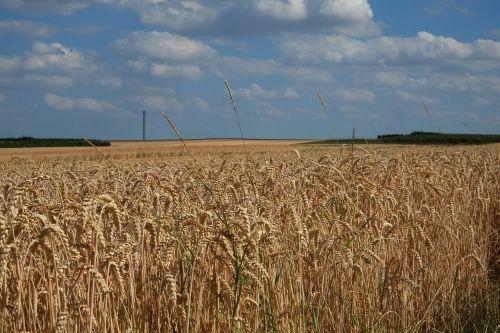 cereals cornfield spike