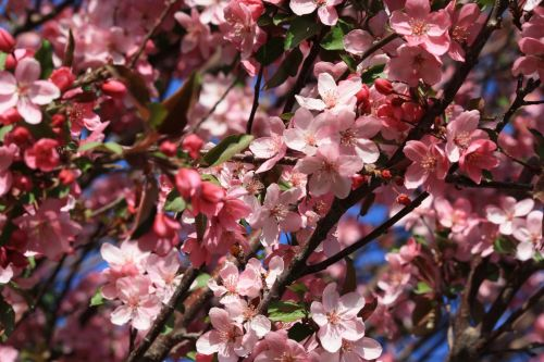 Cherry Flowers, Petals Roses