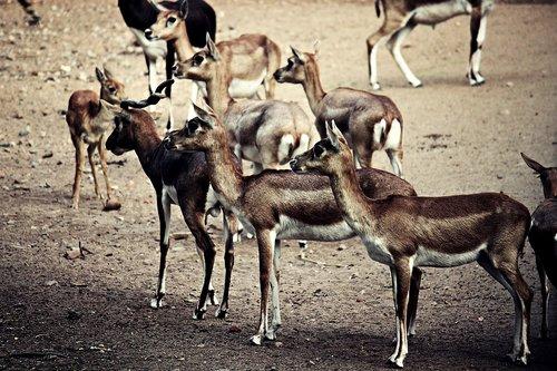 cervidae  deer  animal
