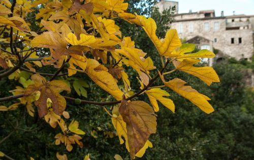 cévennes herald fig tree