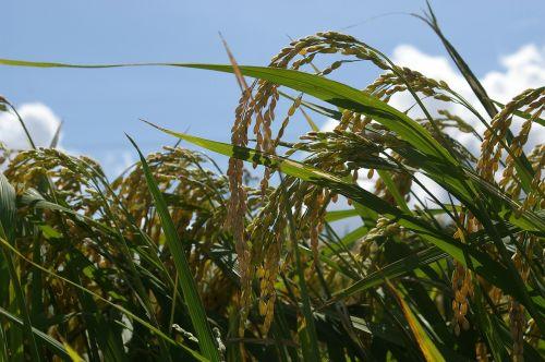 ch rice farming