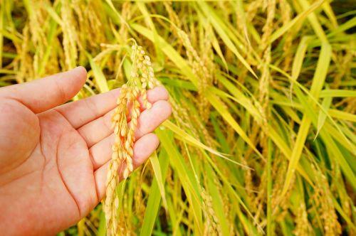 ch rice autumn