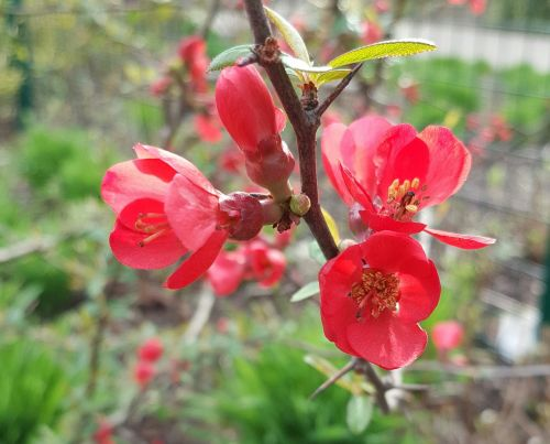 chaenomeles speciosa nakai sweet red flower winter flower