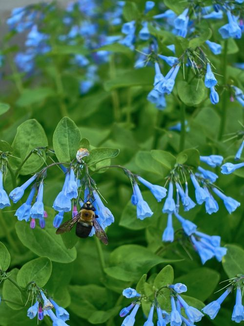 chafer insects bluebell