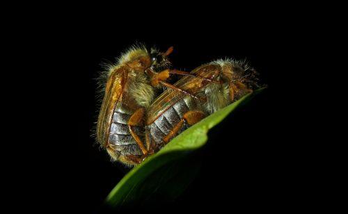 chafer,briaunoti,apleistas vabalas,vabalas,meilė,vabzdys,krabbeltier,vabzdžių makro,reprodukcija