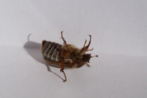 chafer beetle fidget