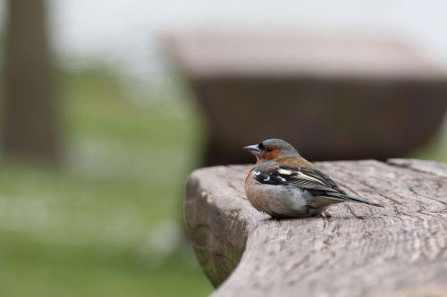 chaffinch bird fink