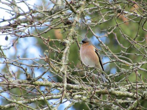chaffinch  bird  nature
