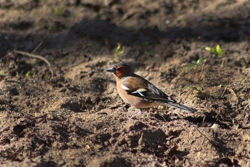 chaffinch  fink  bird