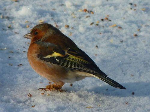 chaffinch fink songbird
