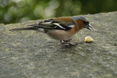 chaffinch plumage drawing