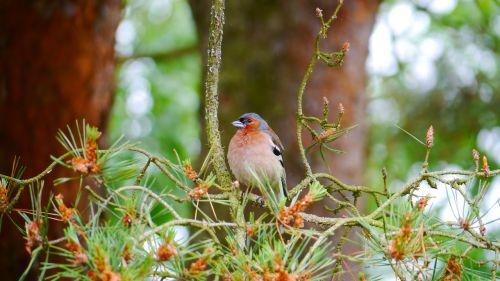 chaffinch bird songbird